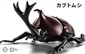 自由研究21 いきもの編 カブトムシ